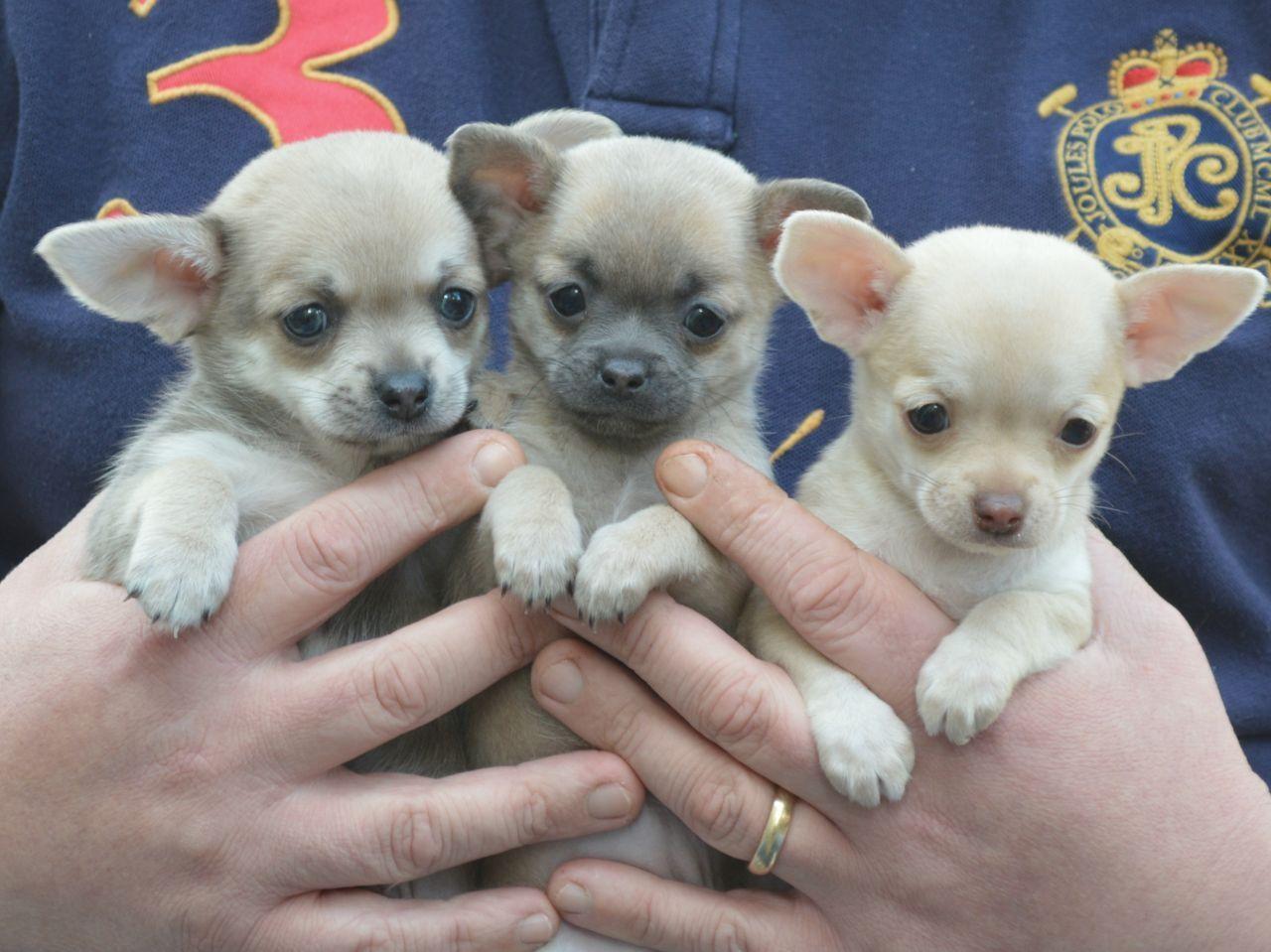Chihuahua Puppies Teacup Cheap Puppy Sale Forcheap Teacup