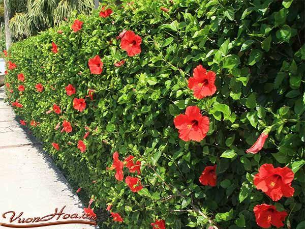 hibiscus- hoa dâm bụt | Garden | Pinterest | Jardins, Arbuste and Fleurs