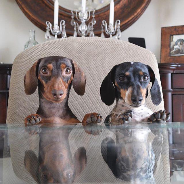 Sunbathing Dachshund Weenie Dogs Sausage Dog Dachshund Love