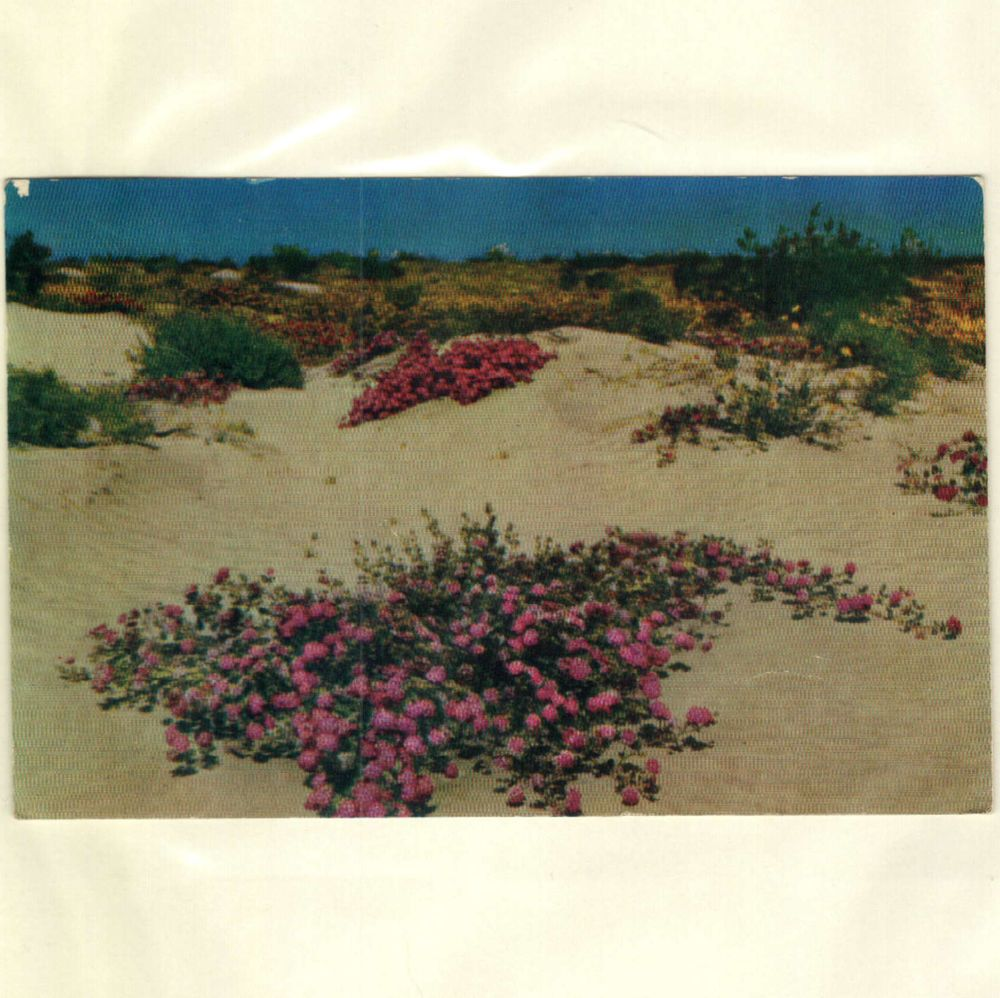 Desert Verbenas On The Sand Dunes Postcard Posted Redlands