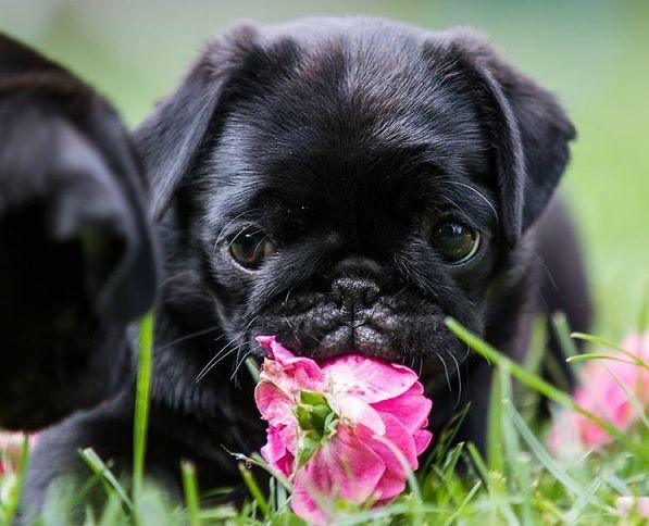 Cute Black Pug Puppy Black Pug Puppies Pugs Cute Pugs