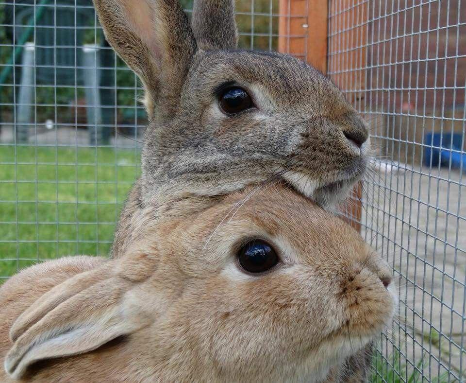 Pin Von B O Auf Haschen Kaninchen Tiere Und Zwergkaninchen