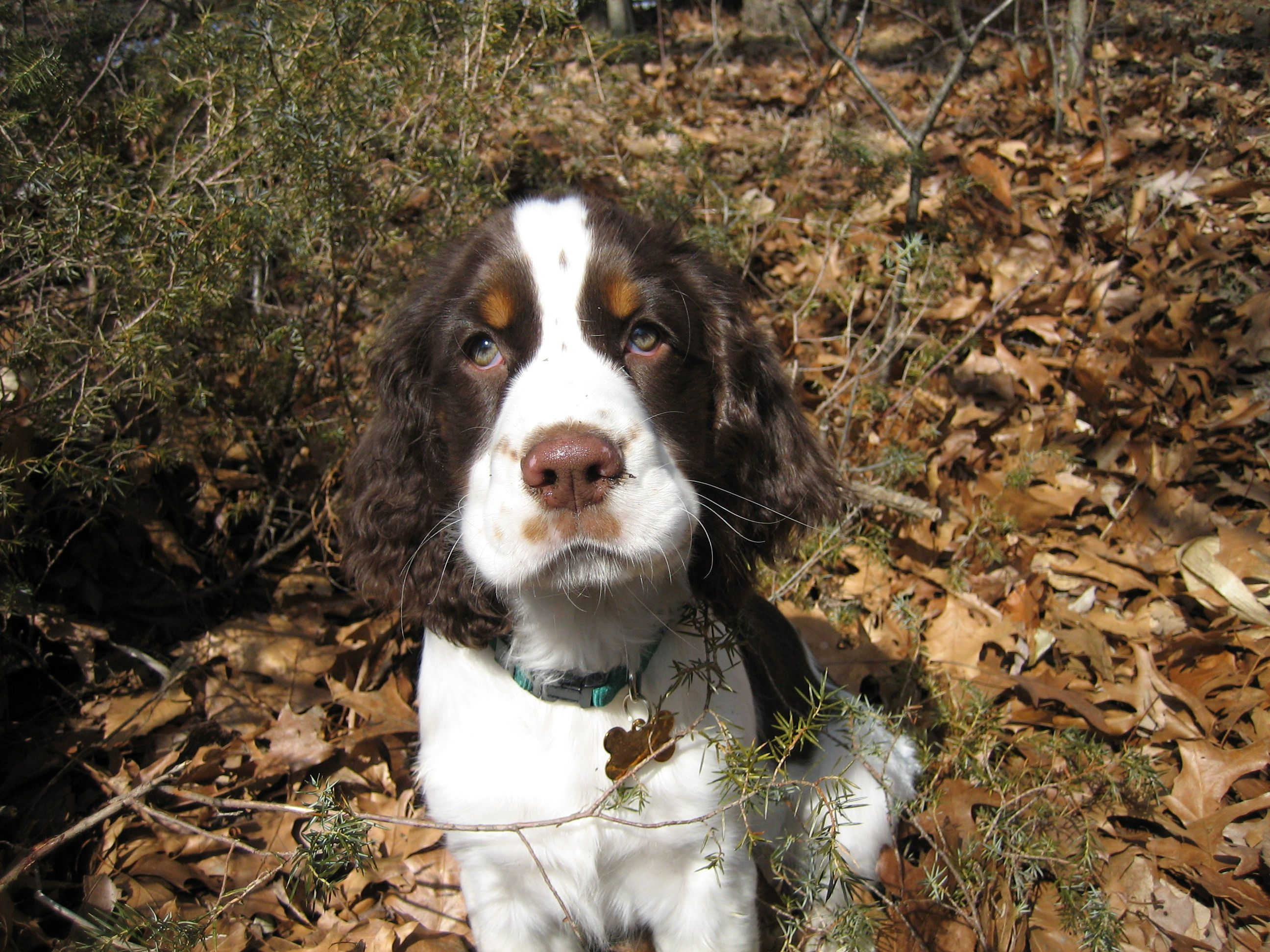 Pin By Grey Haven Ess Kennels On Springers Field Spaniel Little Dogs Spaniel