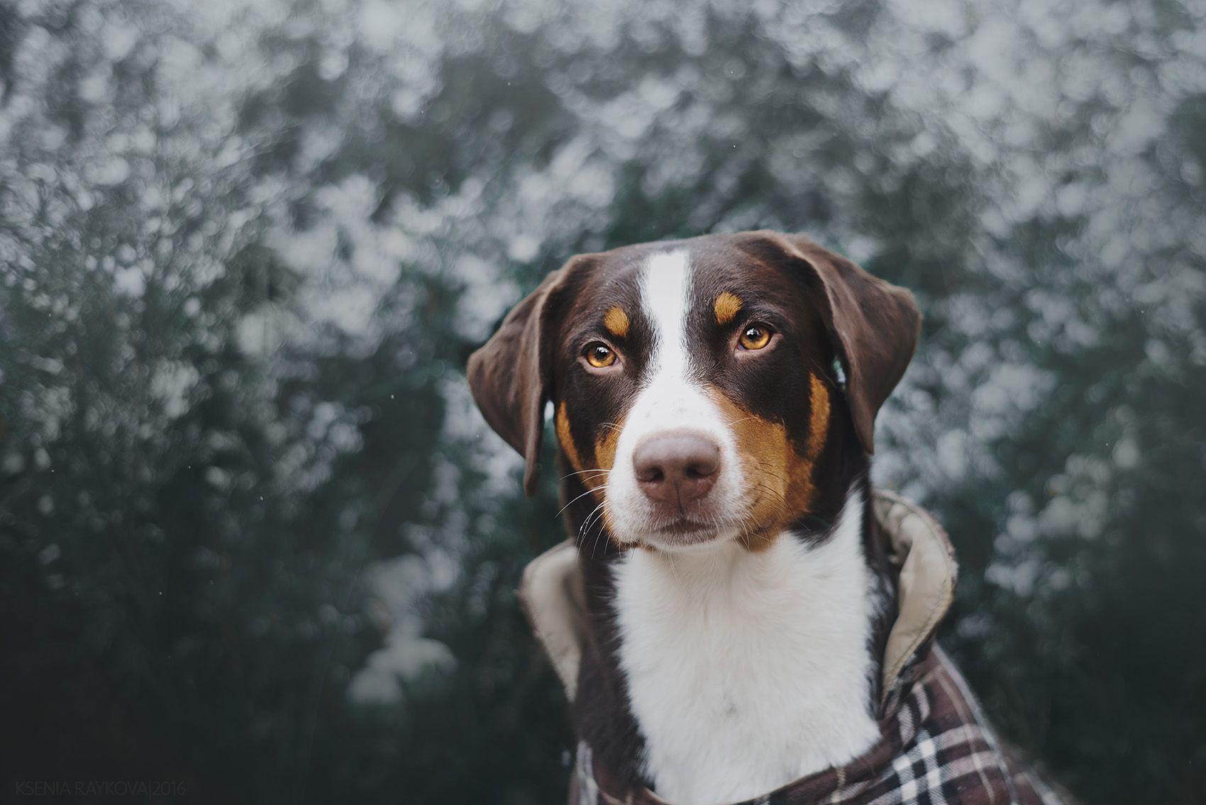 Indira I Ajdera Sennenhund Appenzeller Sennenhund Hunde