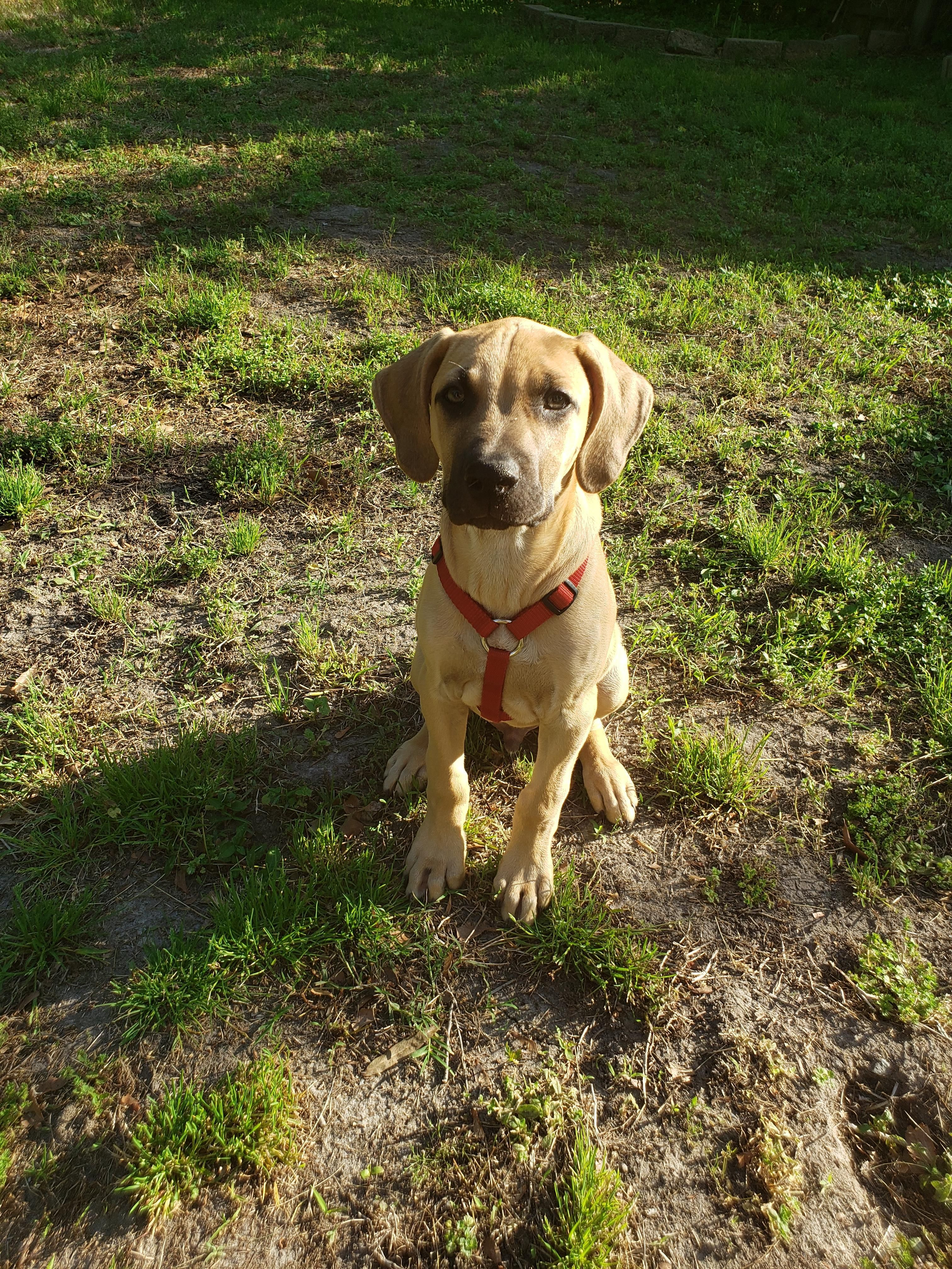 Brewer Black Mouth Cur Turns 3 Months On Saturday And Yes He Is A Very Good Boy Music Indiear Black Mouth Cur Black Mouth Cur Puppies Black Mouth Cur Dog