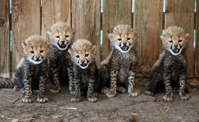 metro richmond zoo cheetah | Photos: Cheetah cubs at the