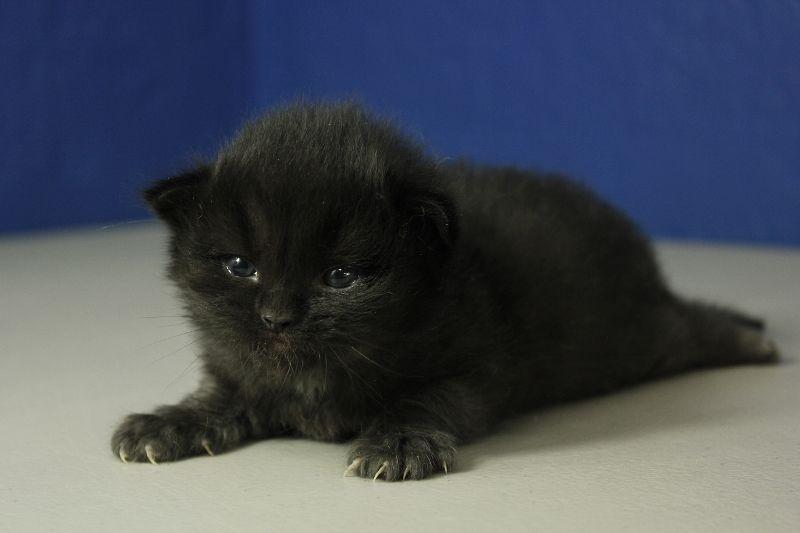 Black Solid Ragdoll Kitten Ragdoll Kitten Ragdoll Kittens