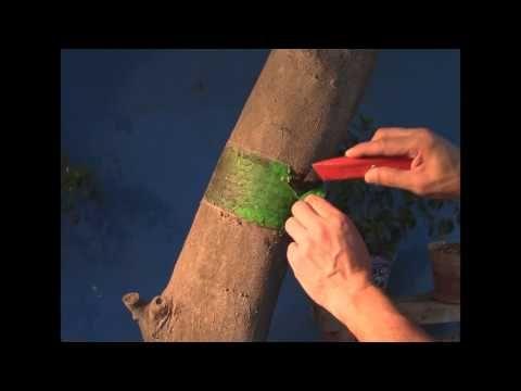 Como eliminar o controlar plaga y hormigas en arboles for Como eliminar plaga de hormigas