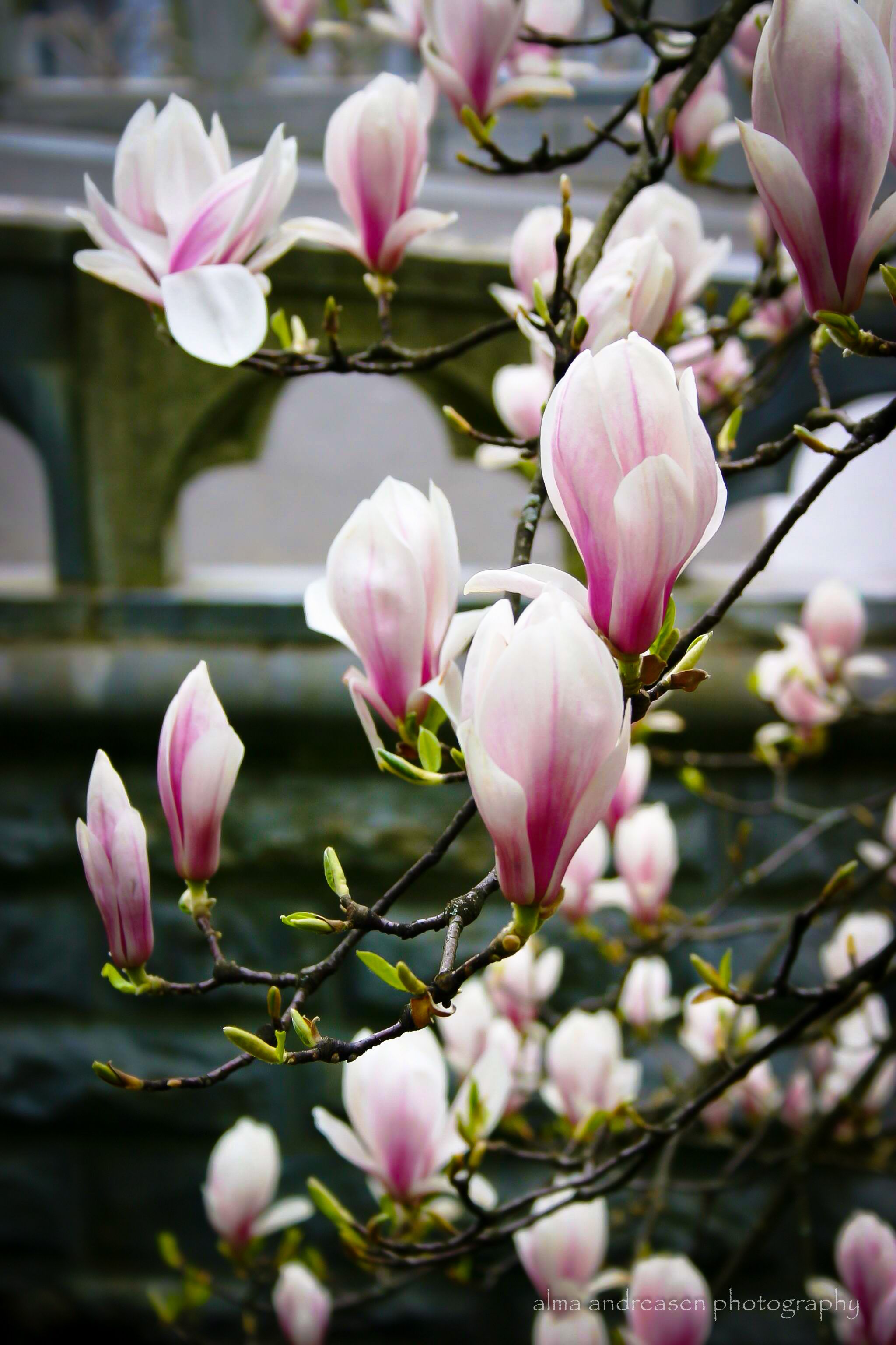 Magnolia. Alma Andreasen Photography. 꽃 사진, 수채화 꽃, 꽃