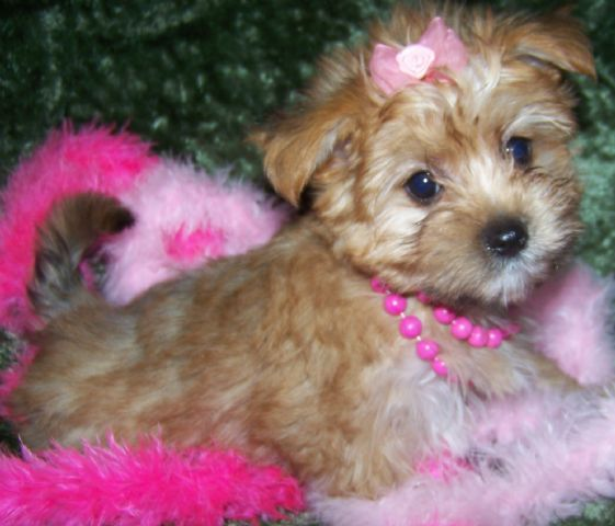 Morkie Puppy 1 2 Yorkie 1 2 Maltese So Very Sweet She