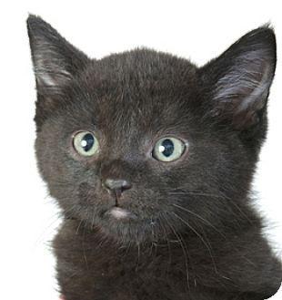 Chicago, IL - Domestic Shorthair. Meet Cutie Pie, a kitten for adoption. http://www.adoptapet.com/pet/12357045-chicago-illinois-kitten
