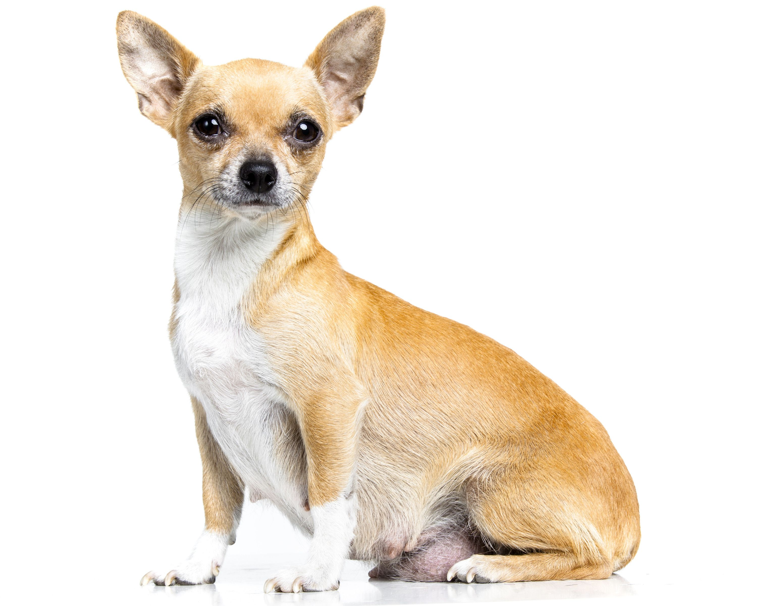 How badly do we need to know pregnant dog chihuahua