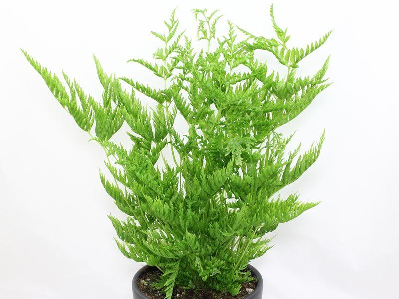 pteris straminea varens ferns foug re shida rui pinterest. Black Bedroom Furniture Sets. Home Design Ideas
