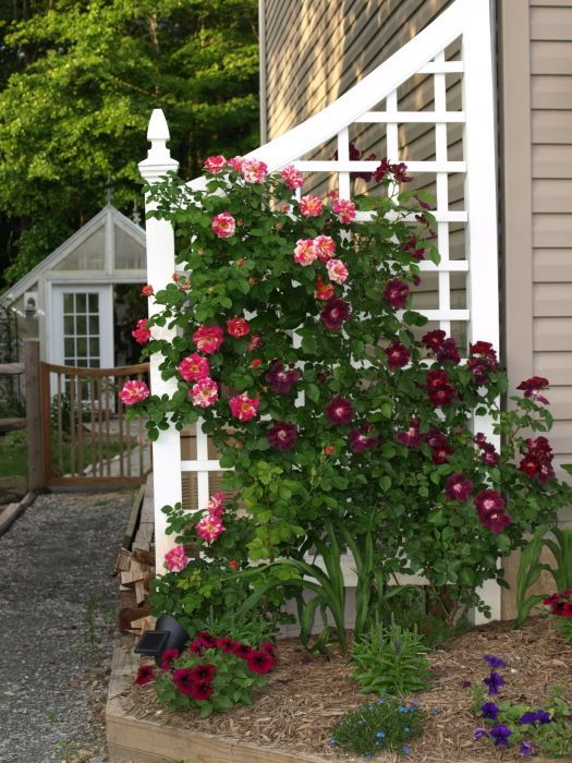 Climbing Rose Trellis Ideas Part - 30: Candyland And Nightowl Trellis GORGEOUS! So Planning A Trellis Like This On  The Property!