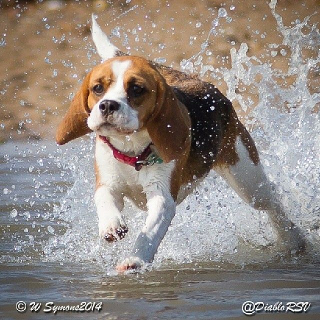 My lovely beagle Grace at the beach