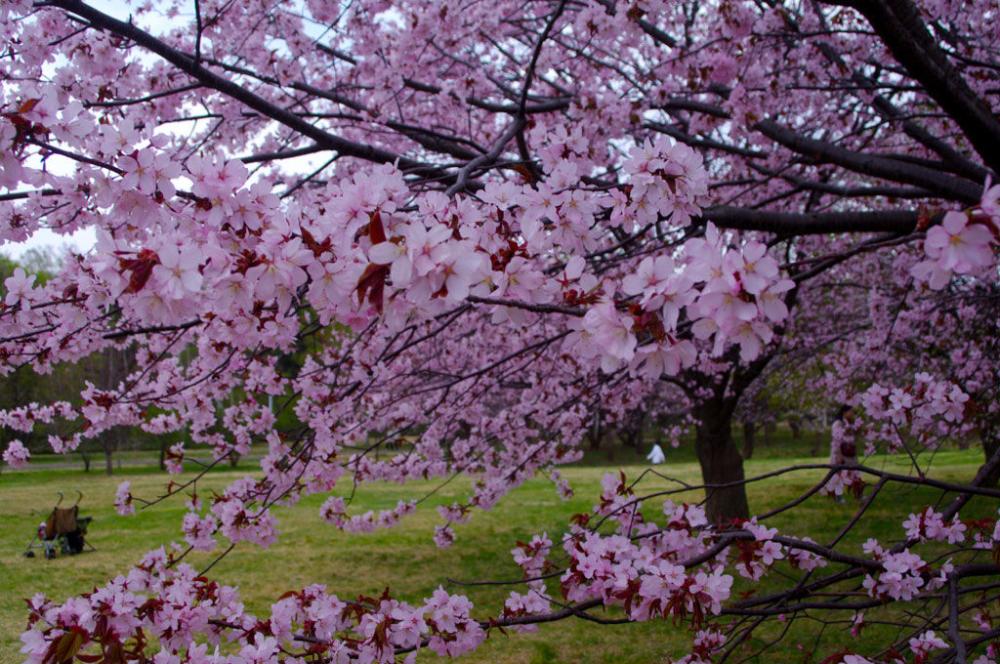 The Best Spots To See Cherry Blossoms Around Sapporo Gaijinpot Travel Cherry Blossom Japan Cherry Blossom Blossom