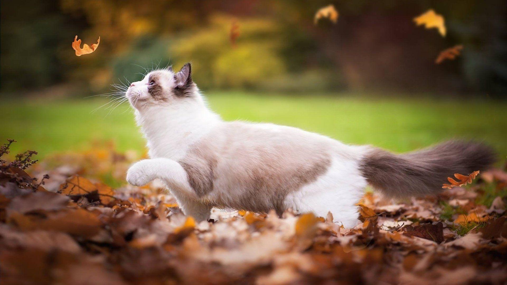 Картинки кошка в осенних листьях