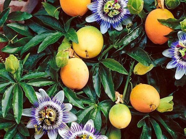 MBURUCUYA   Night garden, Fruit, Plants