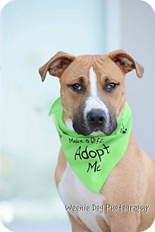 Mooresville, NC Boxer Mix. Meet Miles, a dog for