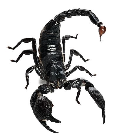 King Scorpion Animal Facts Scorpion Deadly Animals
