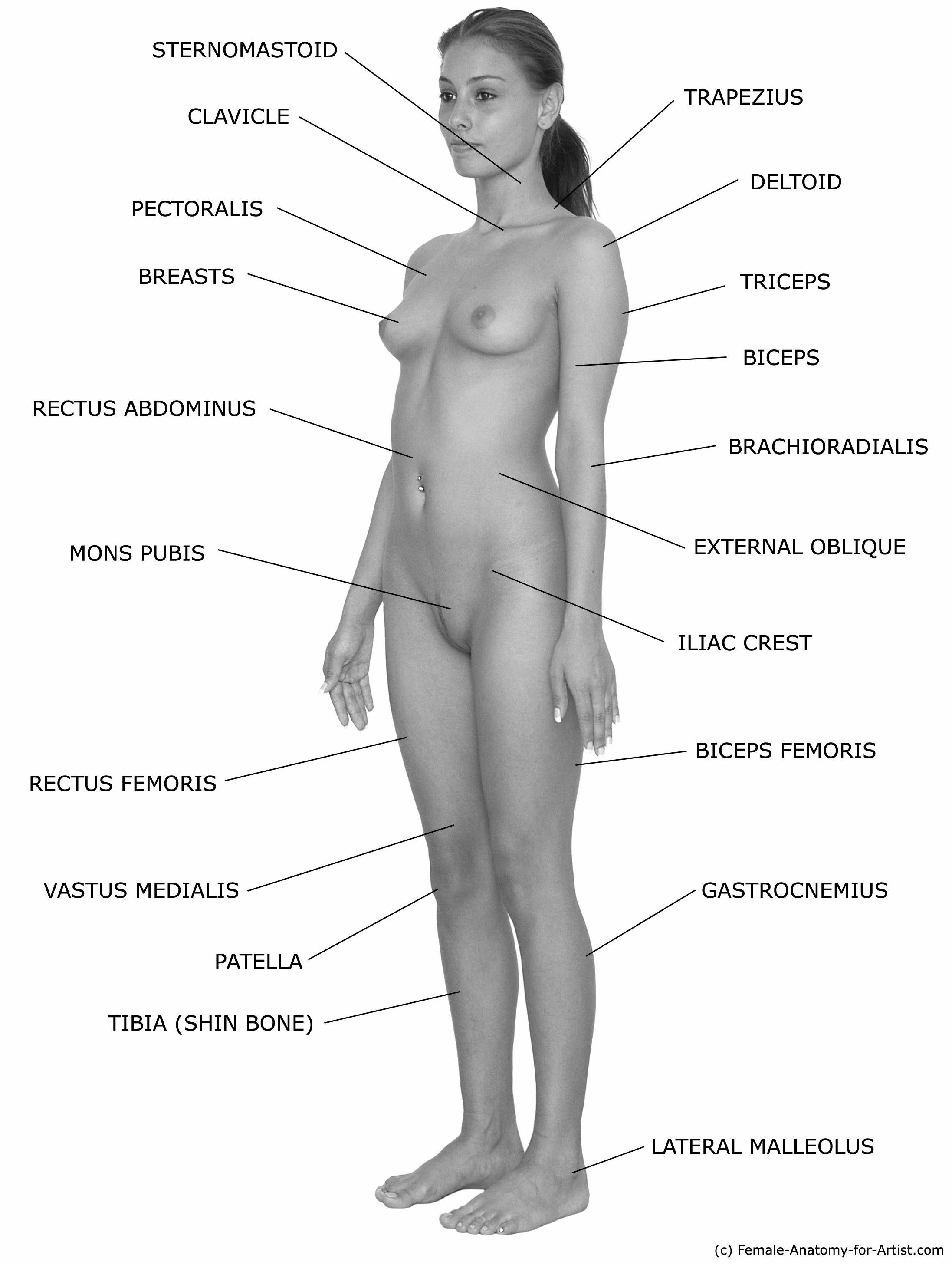 Female Anatomy Reference I Lingerue Anatomy Reference Human