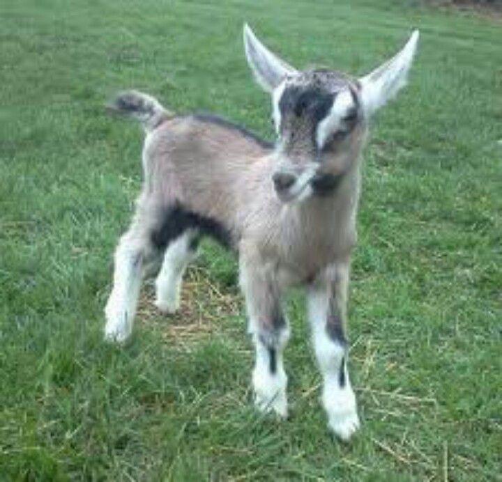 French Alpine Kid Alpine Goats Goats Goat Farming