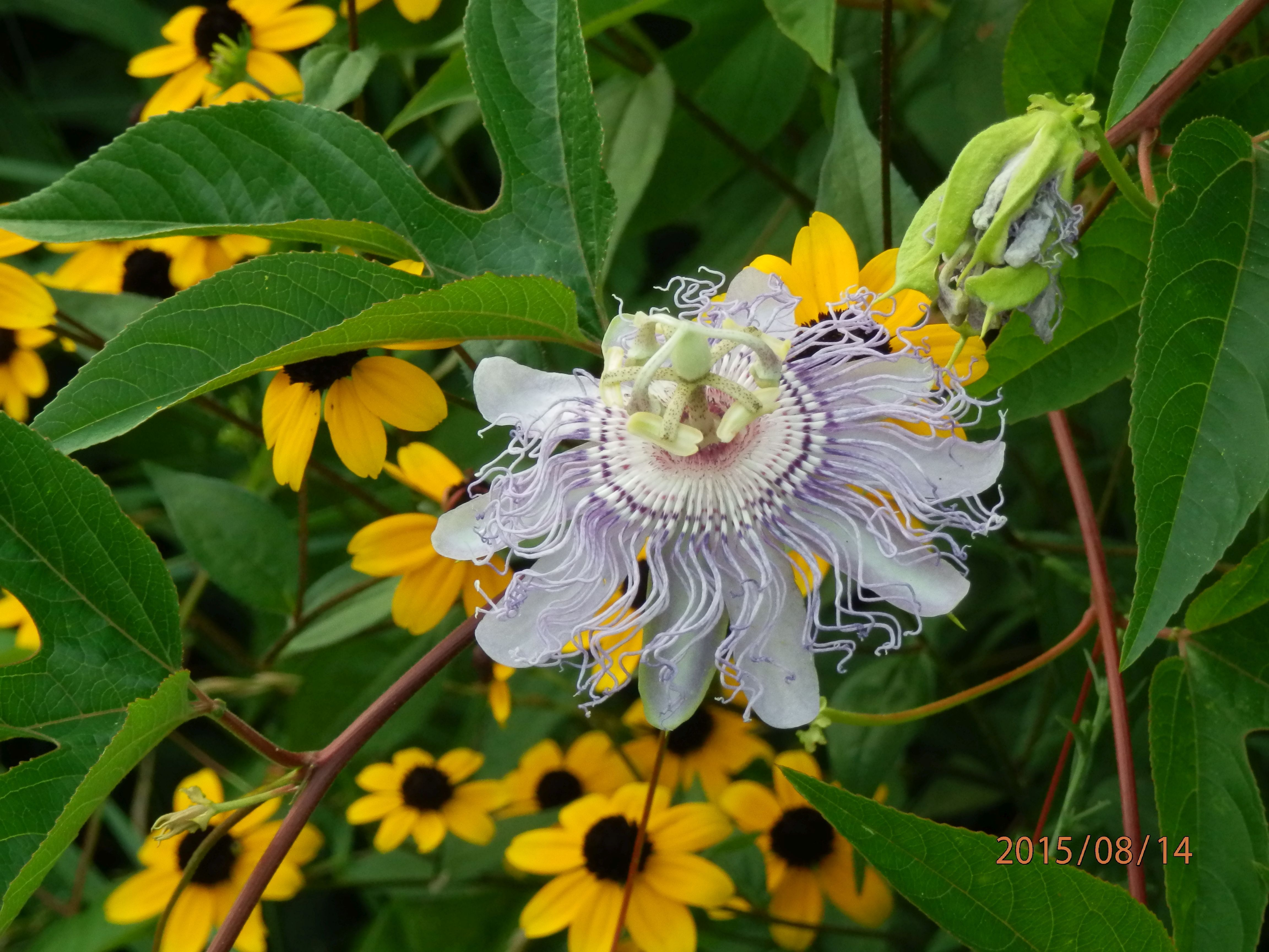 Passiflora Incarnata Passionflower Vine This Particular One Is Hardy In Aurora And Elmhurst Il Does Have Fruit And Turns Ye Passion Flower Vines Passiflora