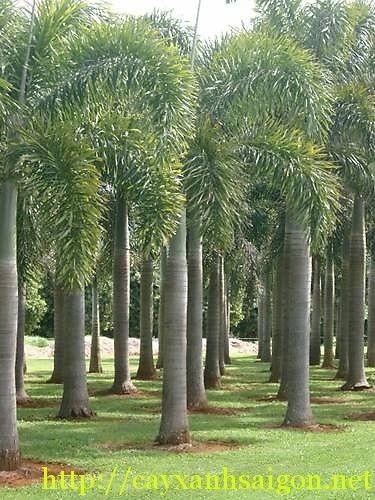 Cau Đuôi Chồn tên khoa học là: Normanbya normanbyi, thuộc họ thực vật: Arecaceae, nguồn gốc xuất xứ Australia, ở Việt Nam phân bố nhiều ở Miền Nam.