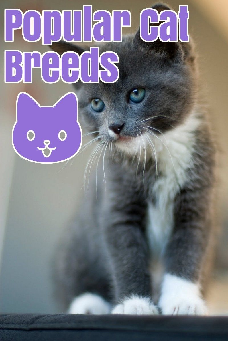 The Most Common Cat Breeds Common cat breeds, Cat breeds