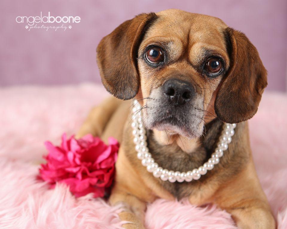 Puggle Dog For Adoption In Minneapolis Mn Adn 149322 On