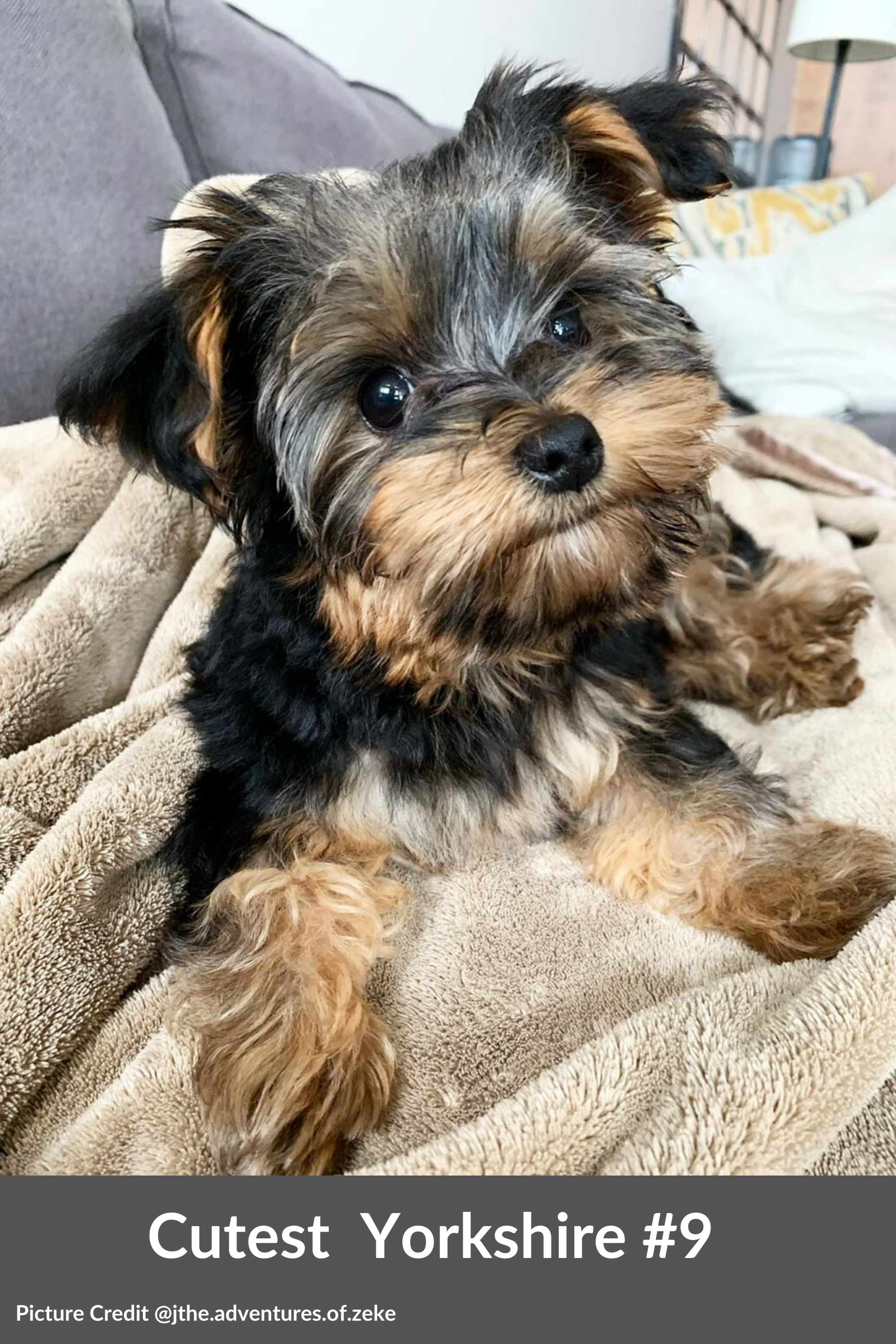 Top 15 Cutest Yorkshire Terriers Make You Go Mad After Seeing Them Yorkshire Terrier Cute Small Dogs Cutest Small Dog Breeds