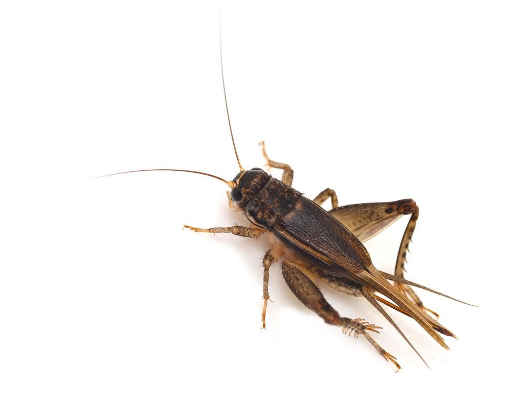 Insects A Healthy And Sustainable Alternative Food Source Animal Medicine Eating Insects Edible Insects