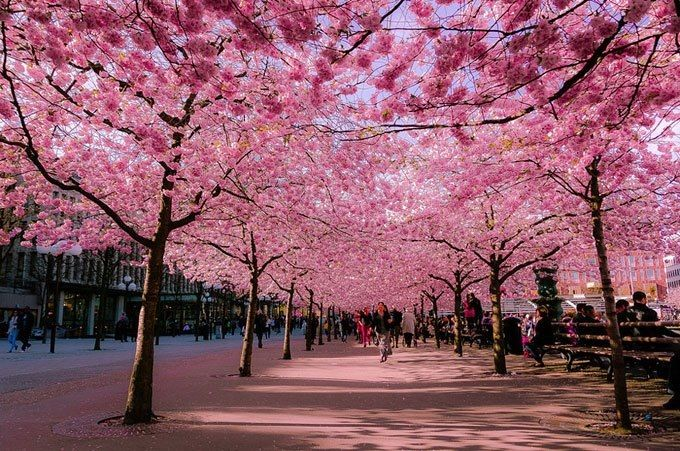 Cherry Blossom Season In Stockholm Sweden Kungstradgarden Beautiful Tree Beautiful Nature Beautiful Places