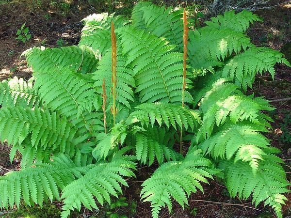 Plant Specifications Common Name Cinnamon Fern Perennial Deciduous In Zones 7 8
