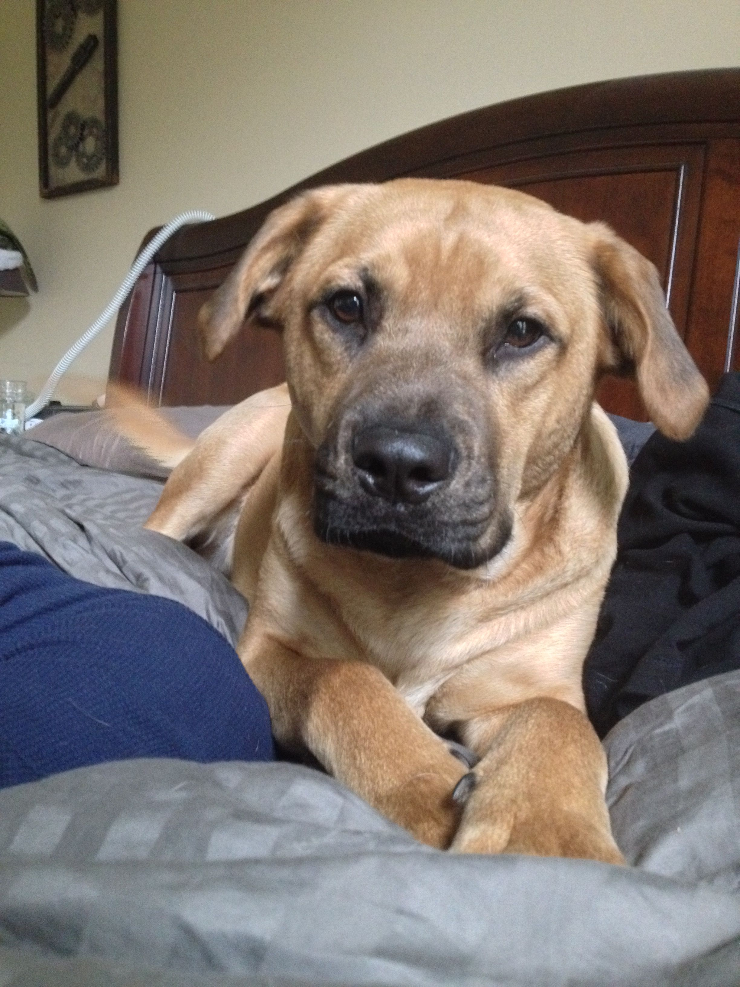 Lucky My Black Mouth Cur Mix My Furbaby And 80 Lbs Of Pure Love