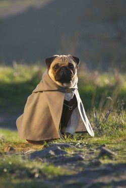 Pin By Michelle Bio On Cats Dogs Etc Pugs Cute Pugs Baby Pugs
