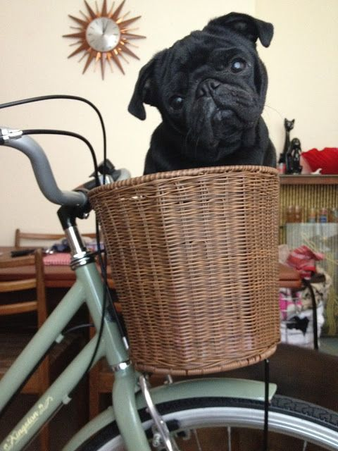 Maybellene the pug in a bike basket!