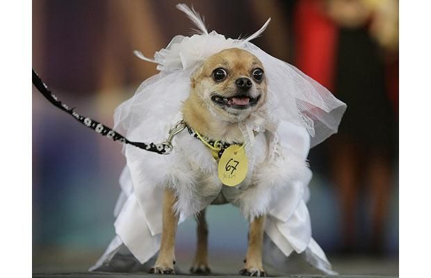 Dogs Dressed Up In Halloween Costumes Chihuahuas Cute Dog