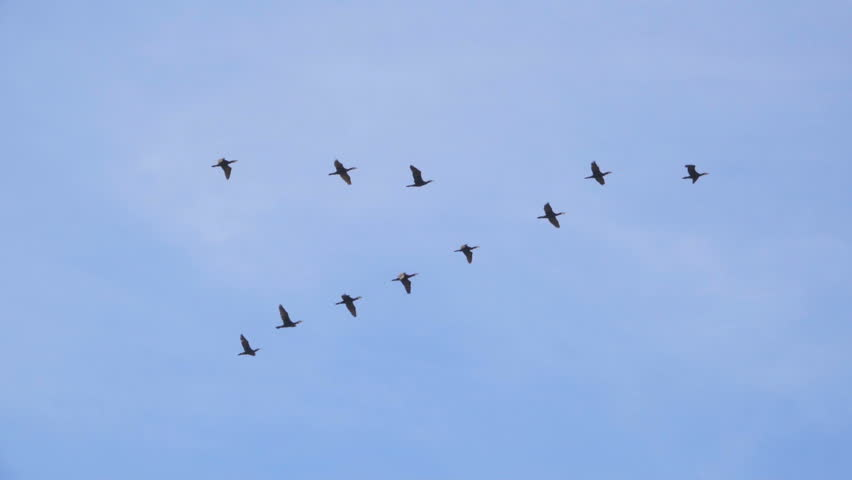 Follow Leaders Flock Of Geese Stock Footage Video 100 Royalty Free 27953659 Shutterstock Birds Flying Birds Flying Photography Birds In The Sky