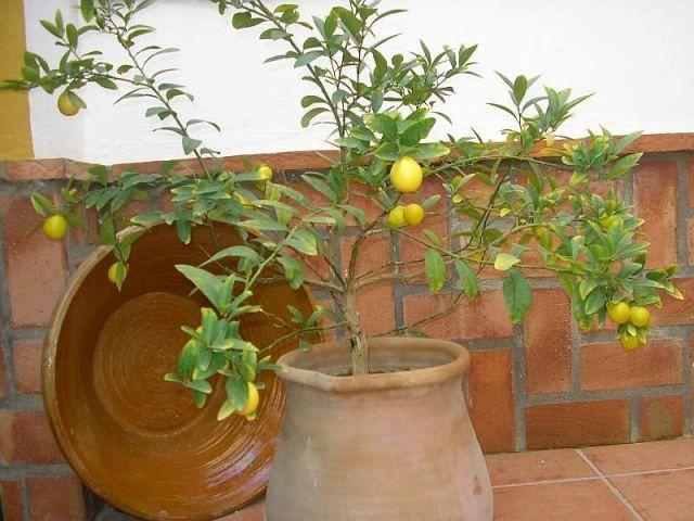 decoración de terrazas con árboles frutales - para más información