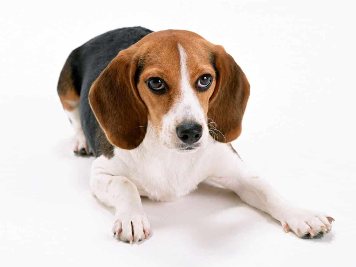 Beagle Razas De Perros Pequeños De Pelo Corto Razas De
