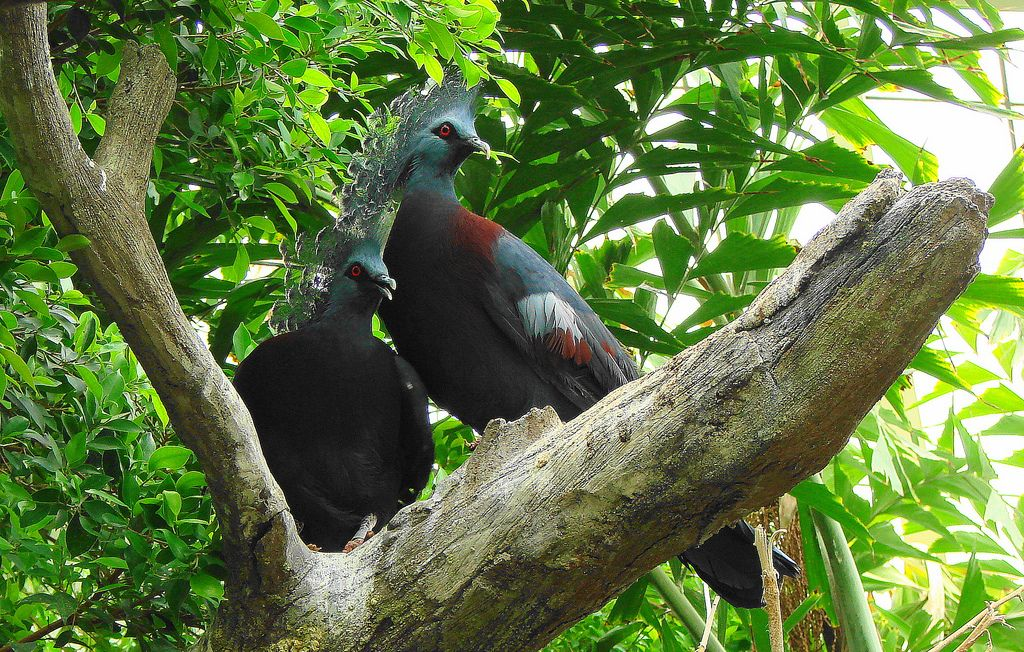 Victorian Pigeons at the Columbus Zoo | Flickr - Photo Sharing!