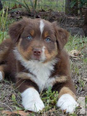 Akc Australian Shepherd Puppies Black Tri And Red Tris 8 Week M