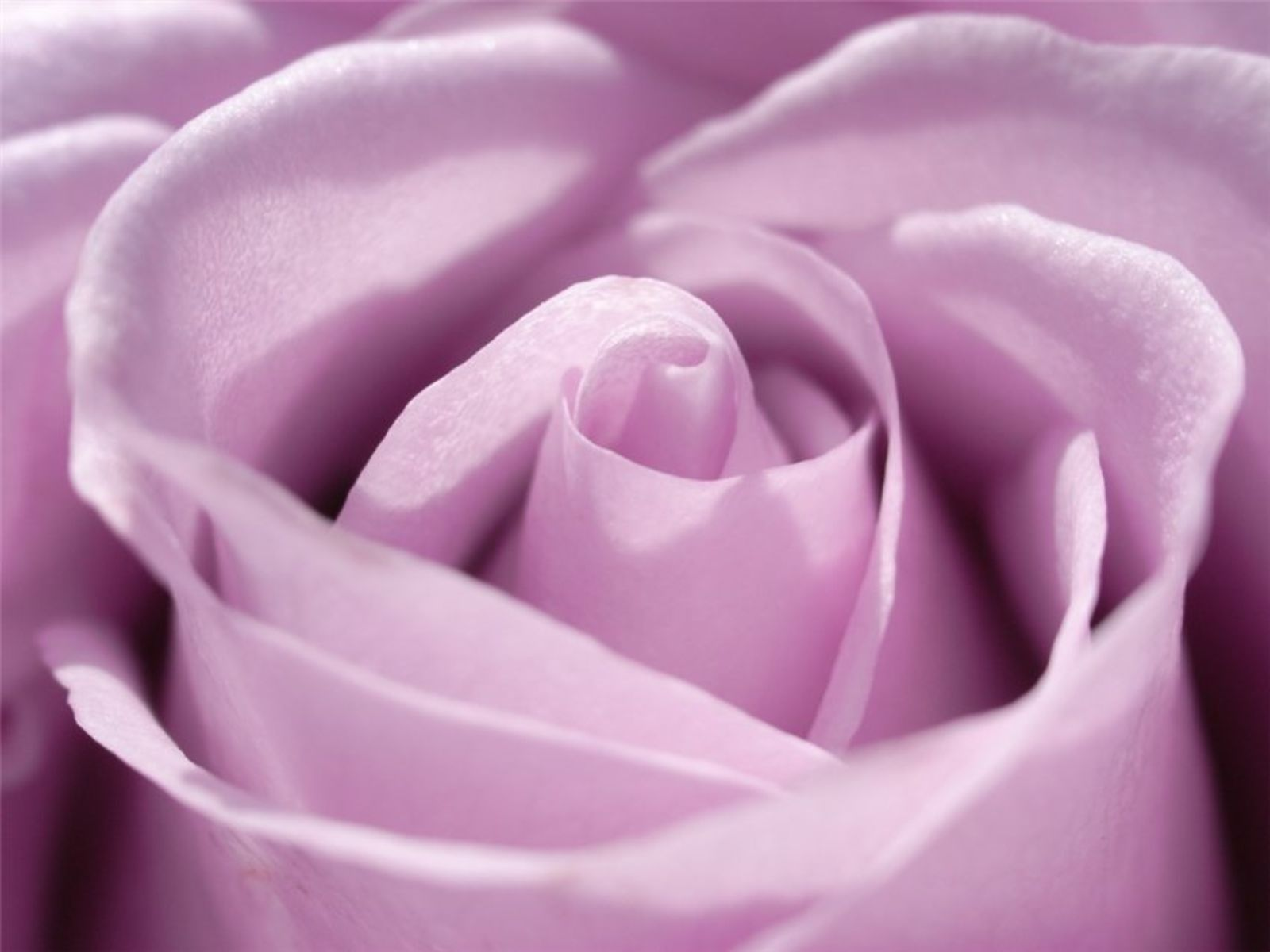 Purple and Pink Roses Wallpaper | Purple Rose Wallpaper - Colors Wallpaper (34511861) - Fanpop fanclubs