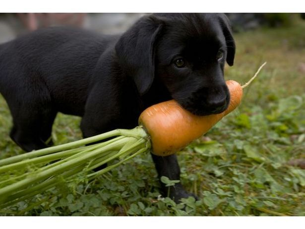 List Of Fruits And Vegetables Dogs Can Eat Dogs Dogs Puppies