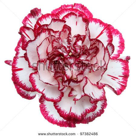 White with red tips carnation use for bridesmaids bouquet white with red tips carnation use for bridesmaids bouquet mightylinksfo