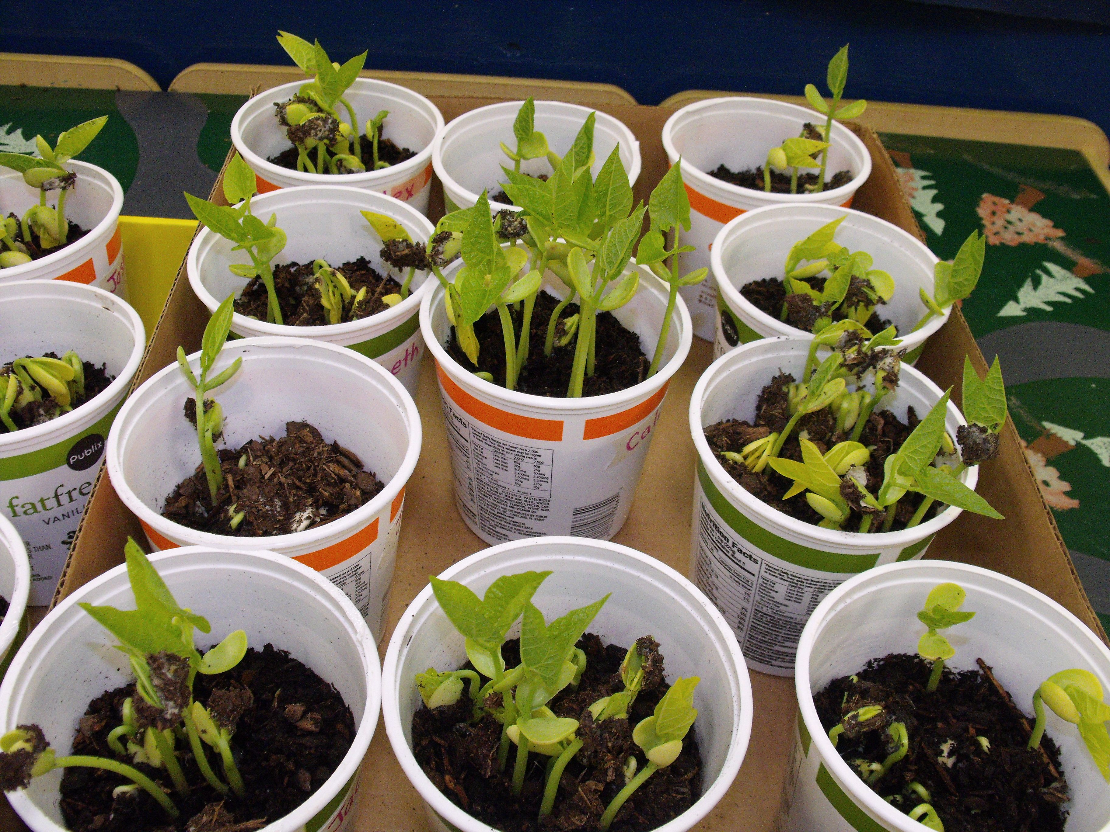 Growing Lima Beans In Recycled Yogurt Cups Tjs With