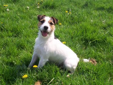 Jack russell rat terrier mix size