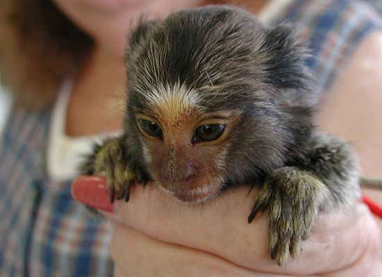 Baby Finger Monkey Finger Monkeys Too Small To Be Real This Blog Rules Why Go You Can Visit Their Movi Monkey Species Pygmy Marmoset Marmoset Monkey