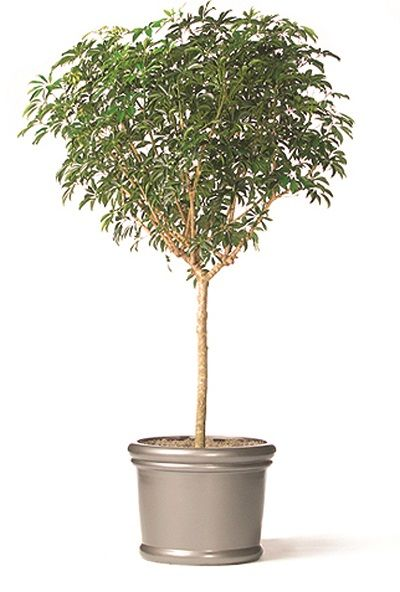 5 Tall Indoor Plants   Shown: Schefflera Arboricola Standard